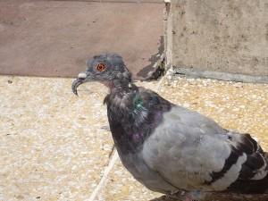 Image_pigeon