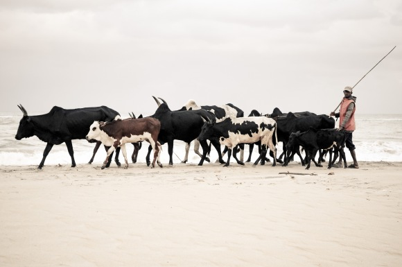 A herder is walking his zebu on the beach to graze.